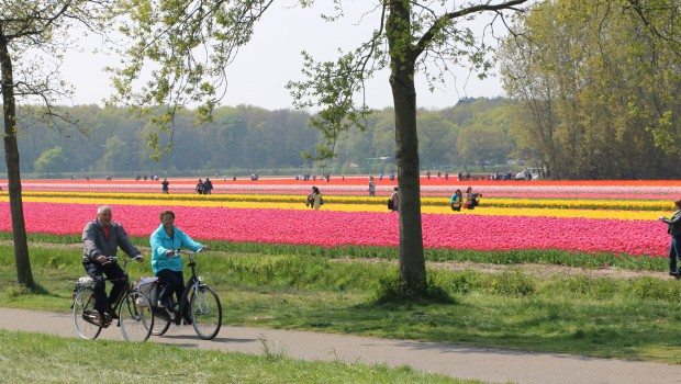 When are the flower fields in the Netherlands blooming?