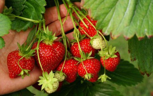 van reeuwijk zelf aardbeien plukken