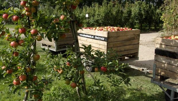 olmenhorst appels plukken