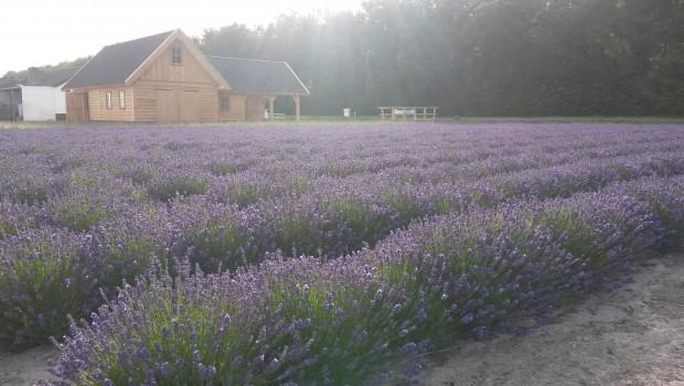 Lady Lavendel Noordwijk