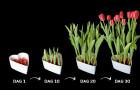 Cadeautip: gekleurde tulpen van bol tot bloem