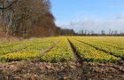 Flower Map laat zien waar de bollenvelden bloeien rondom Keukenhof.